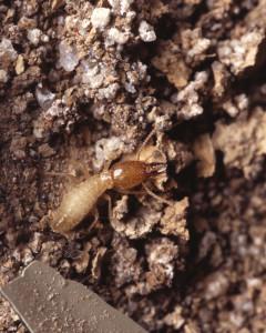 صورة ميدانية صورت أثناء مكافحة النمل الابيض بالرياض